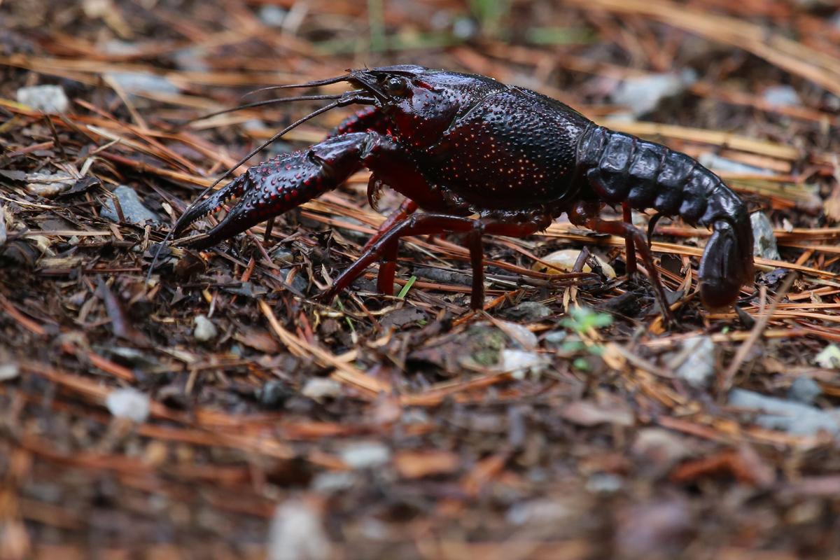 Crayfish / 15 Jul / Back Bay NWR