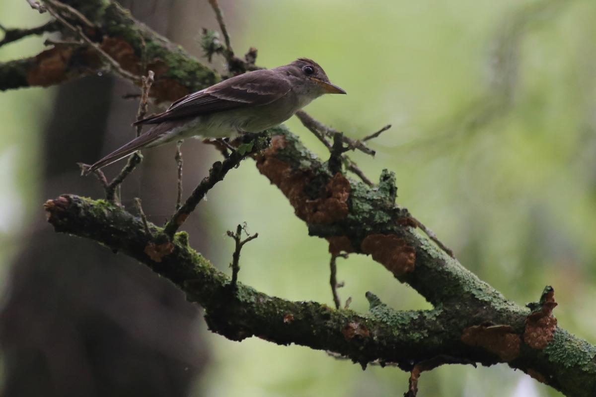 Eastern Wood-Pewee / 15 Jul / Back Bay NWR
