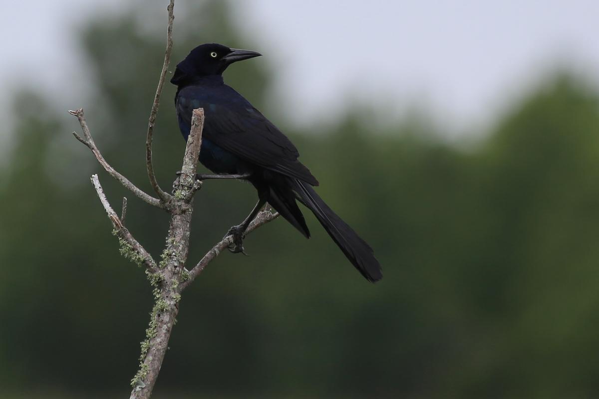 Boat-tailed Grackle / 15 Jul / Back Bay NWR