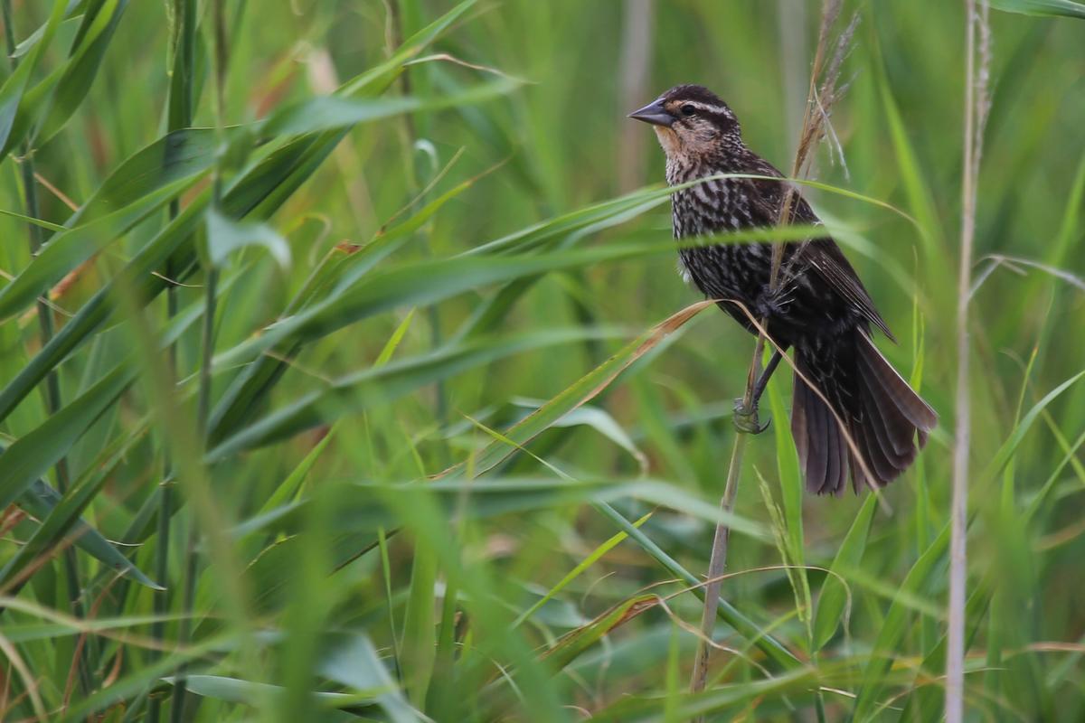 Red-winged Blackbird / 15 Jul / Back Bay NWR