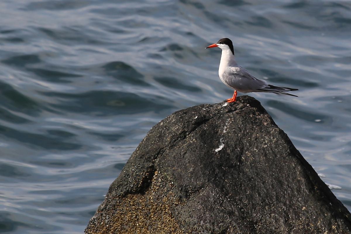 Common Tern / 16 Jul / South Thimble Island