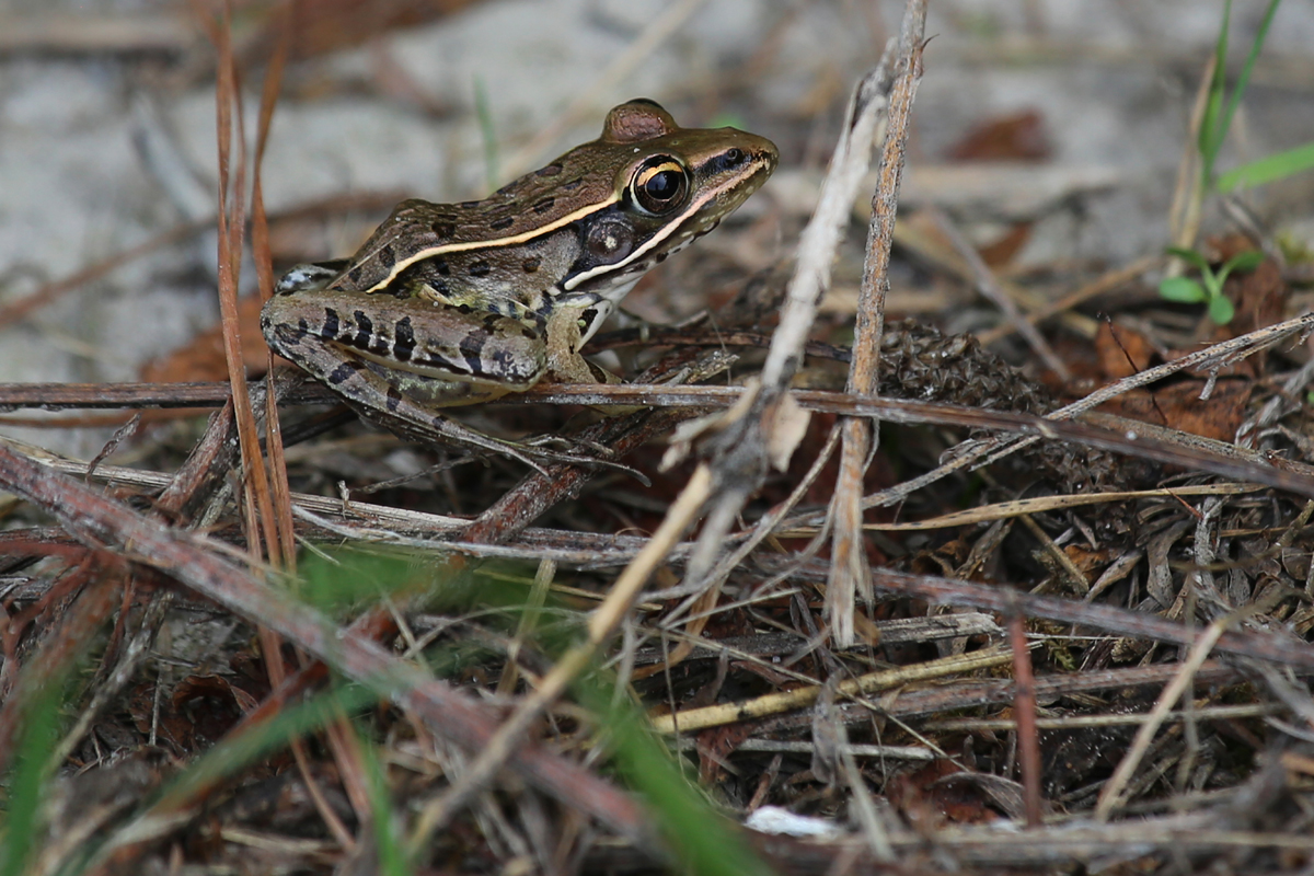 Southern Leopard Frog / 21 Jul / Princess Anne WMA Whitehurst Tract