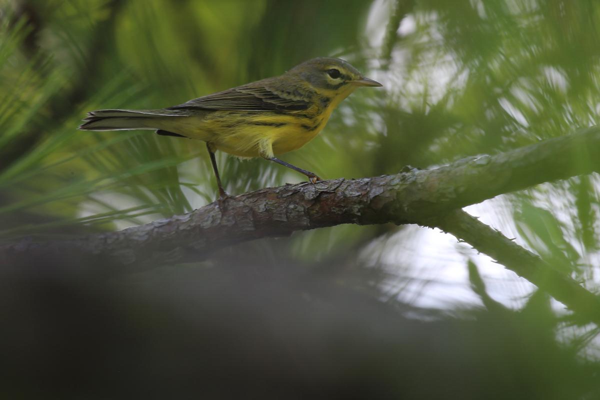 Prairie Warbler / 22 Jul / Back Bay NWR
