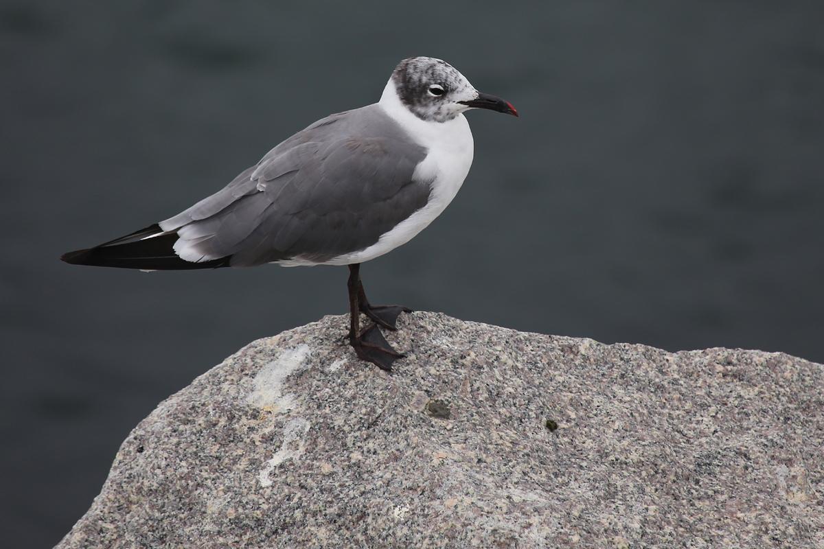Laughing Gull / 29 Jul / South Thimble Island