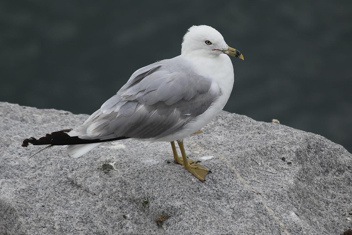 Ring-billed Gull / 29 Jul / South Thimble Island