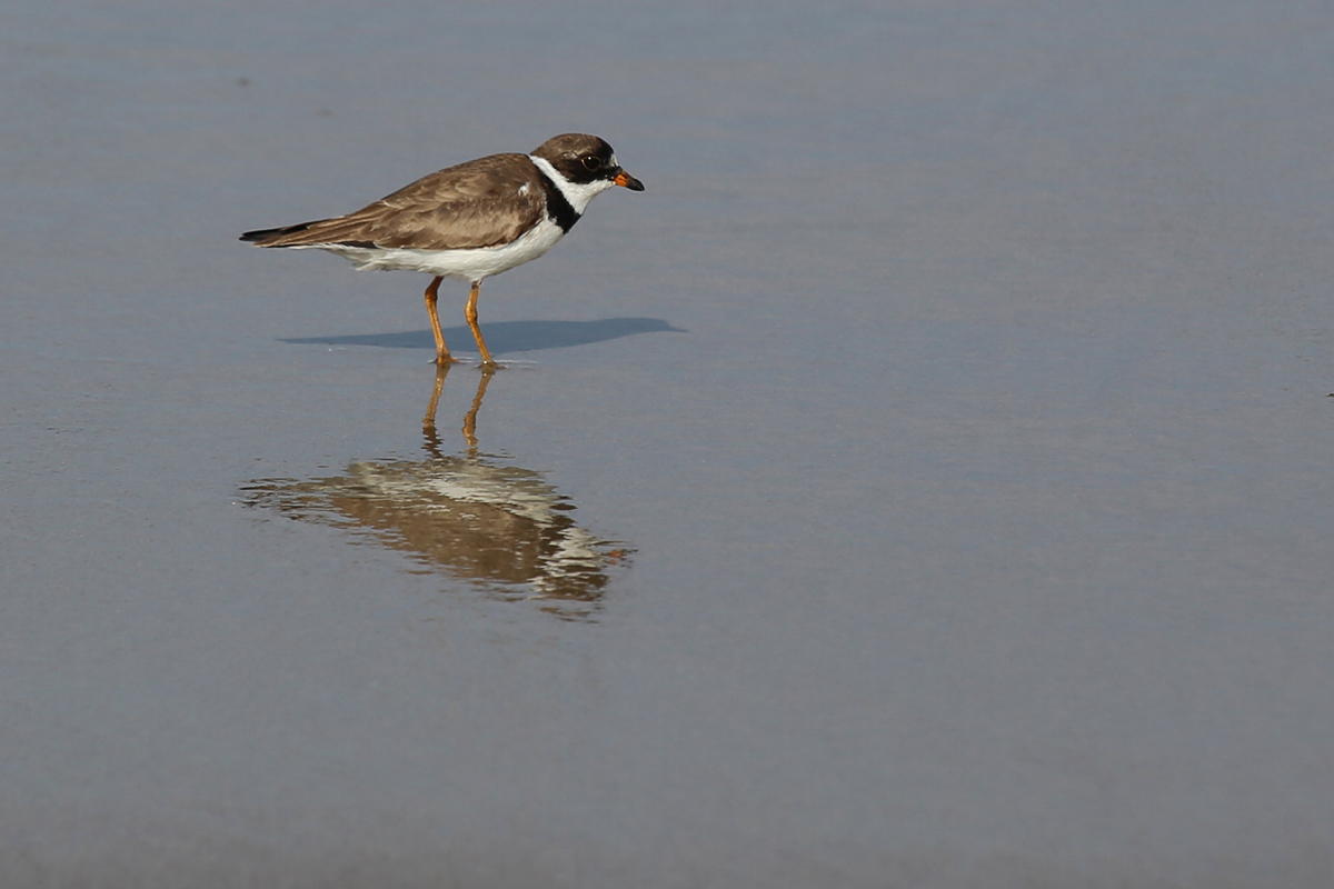 Semipalmated Plover / 9 Aug / BacK Bay NWR