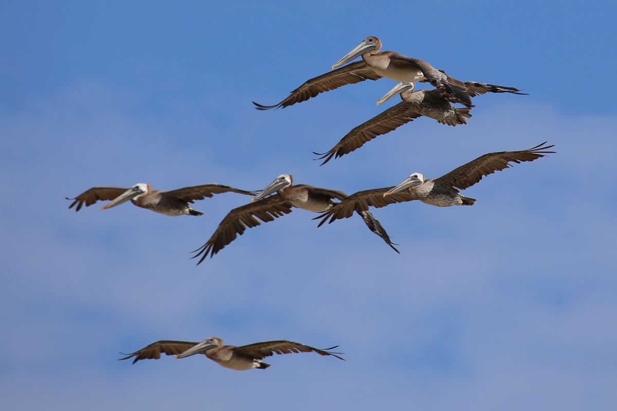 Brown Pelicans / 9 Aug / BacK Bay NWR