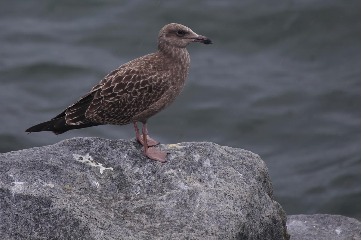 Herring Gull / 12 Aug / South Thimble Island