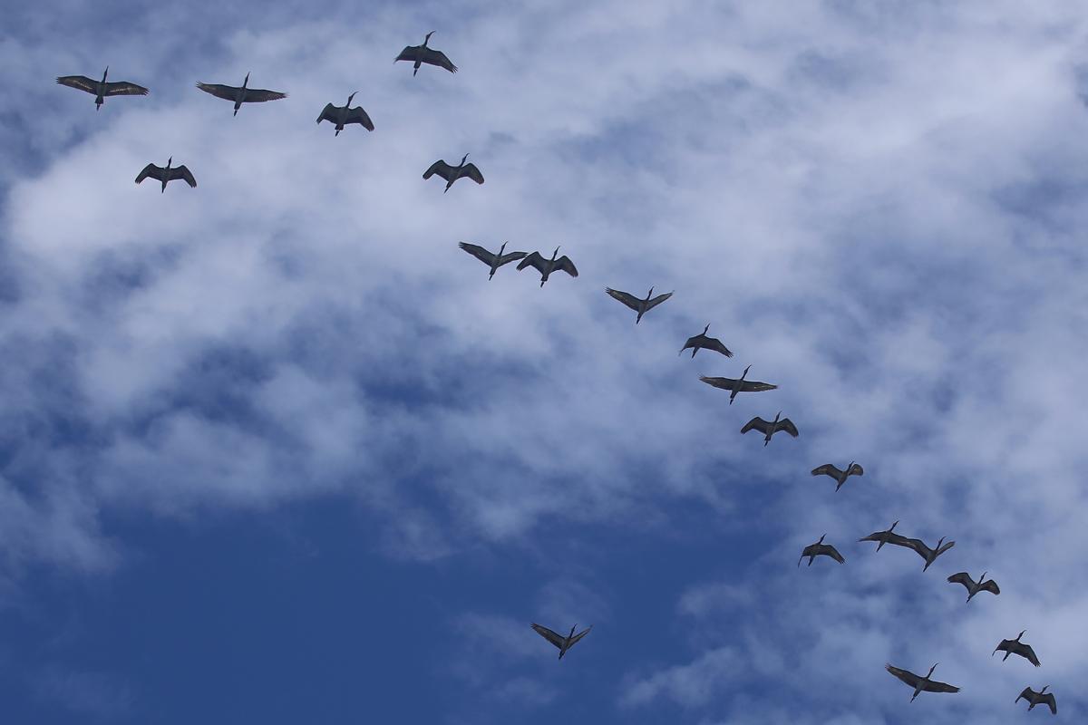 White Ibis / 12 Aug / South Thimble Island