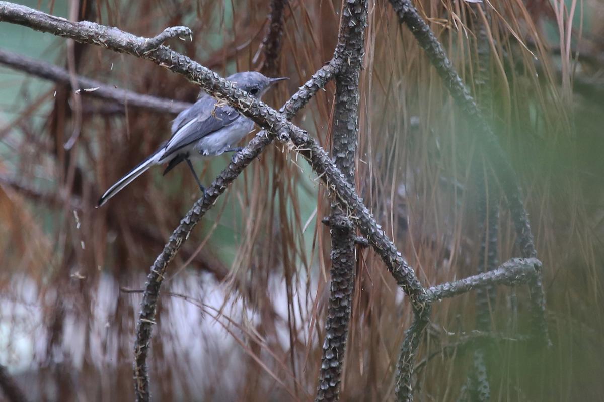 Blue-gray Gnatcatcher / 13 Aug / Back Bay NWR