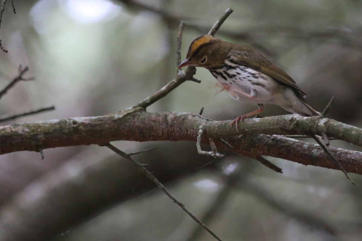 Ovenbird / 13 Aug / Back Bay NWR
