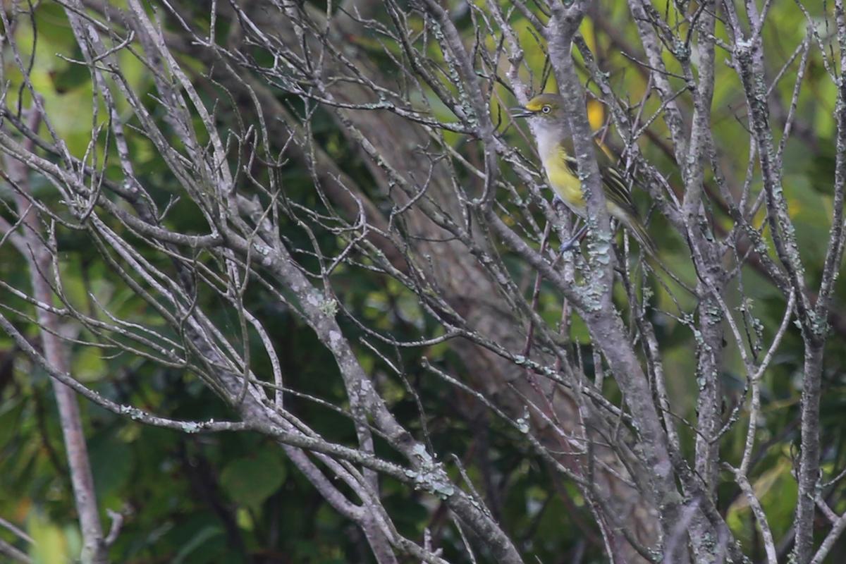 White-eyed Vireo / 13 Aug / Back Bay NWR