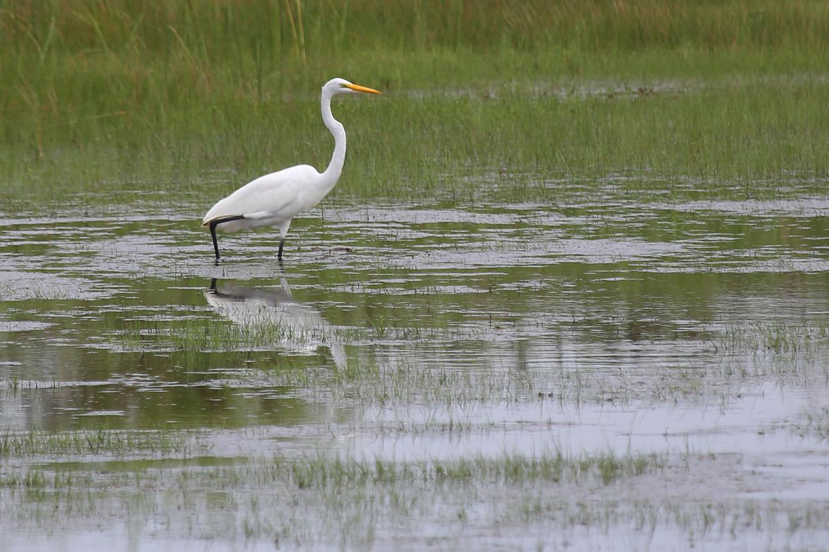 Great Egret / 13 Aug / Back Bay NWR
