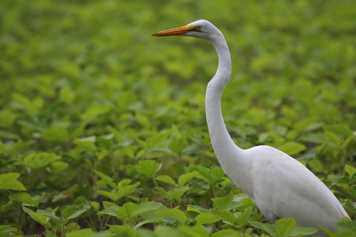 Great Egret / 13 Aug / Muddy Creek Rd.