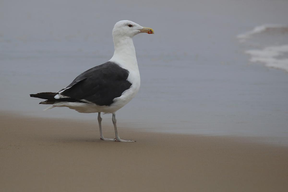 Great Black-backed Gull / 13 Aug / Back Bay NWR