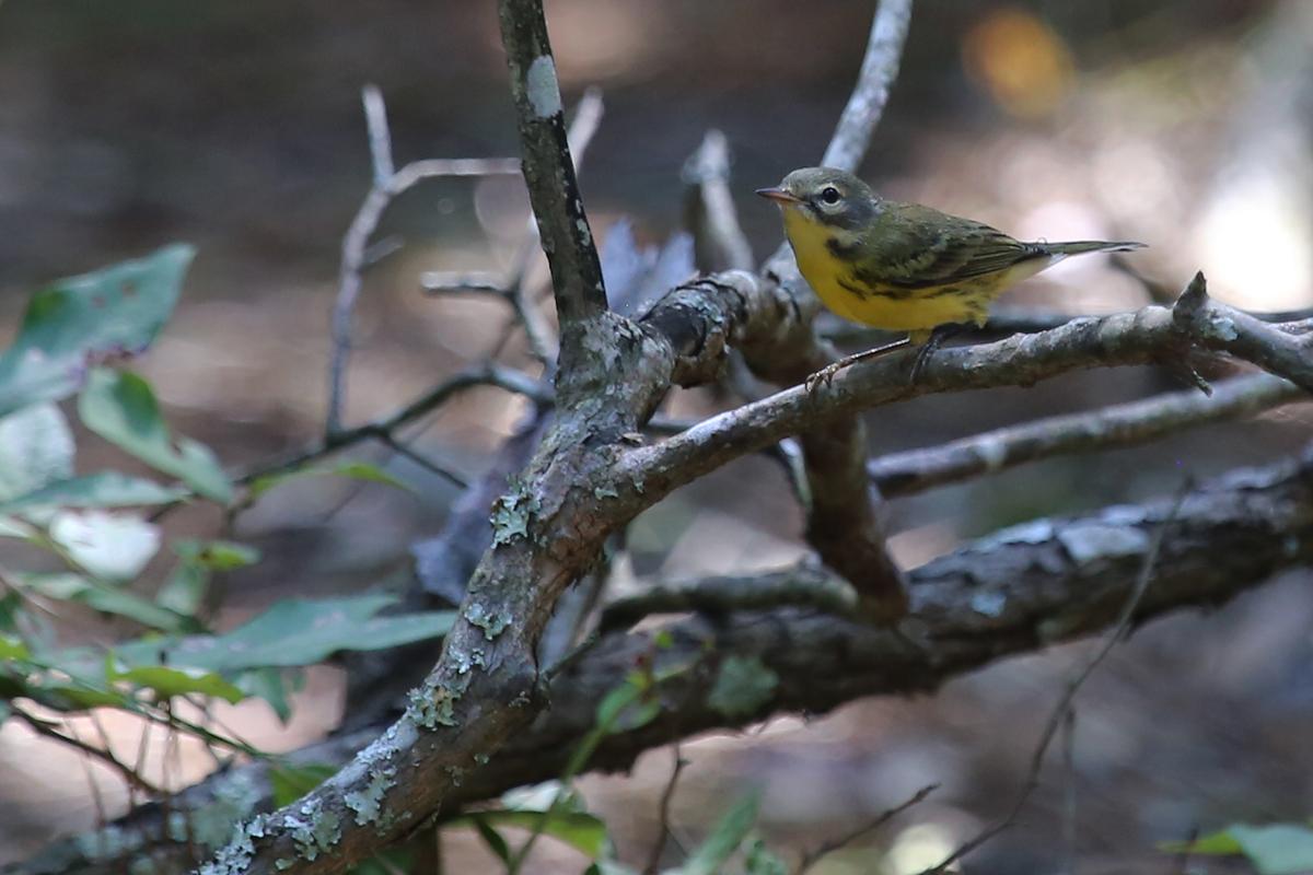 Prairie Warbler / 19 Aug / Back Bay NWR