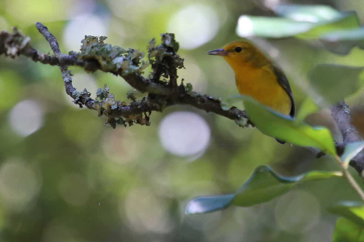 Prothonotary Warbler / 19 Aug / Back Bay NWR