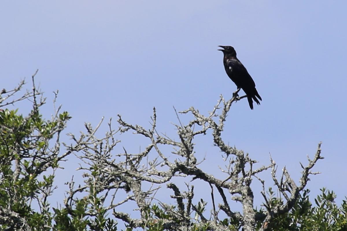 American Crow / 19 Aug / Back Bay NWR