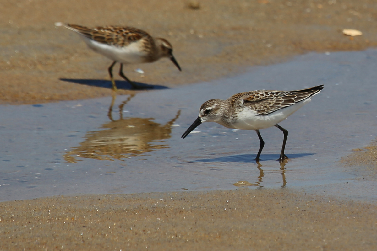 Least & Western Sandpipers / 19 Aug / Back Bay NWR
