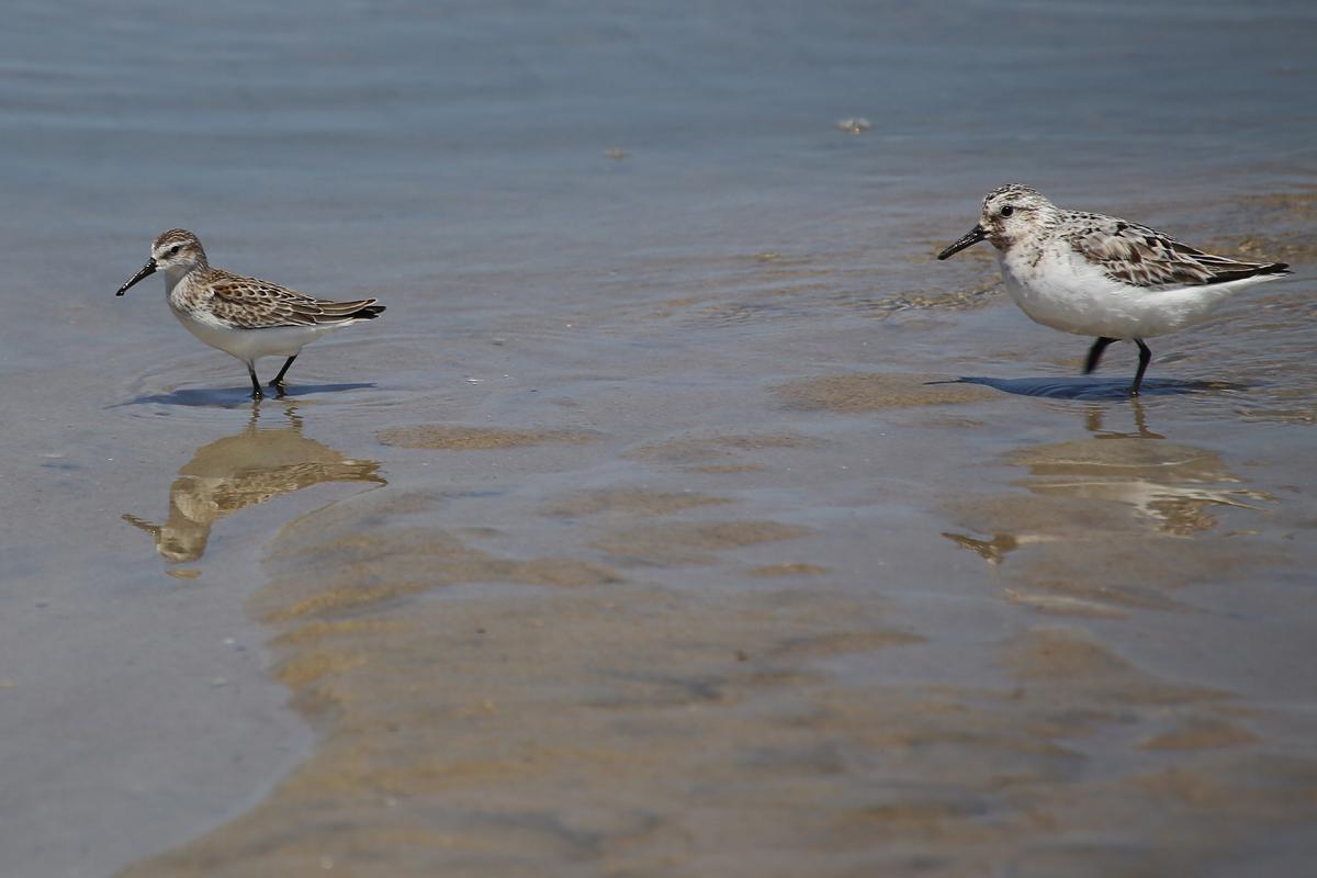 Western Sandpiper & Sanderling / 19 Aug / Back Bay NWR