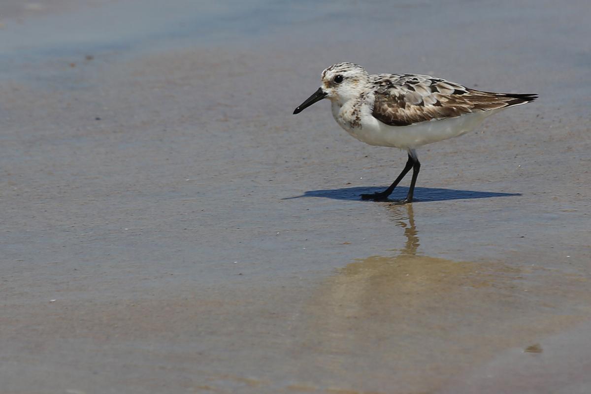 Sanderling / 19 Aug / Back Bay NWR