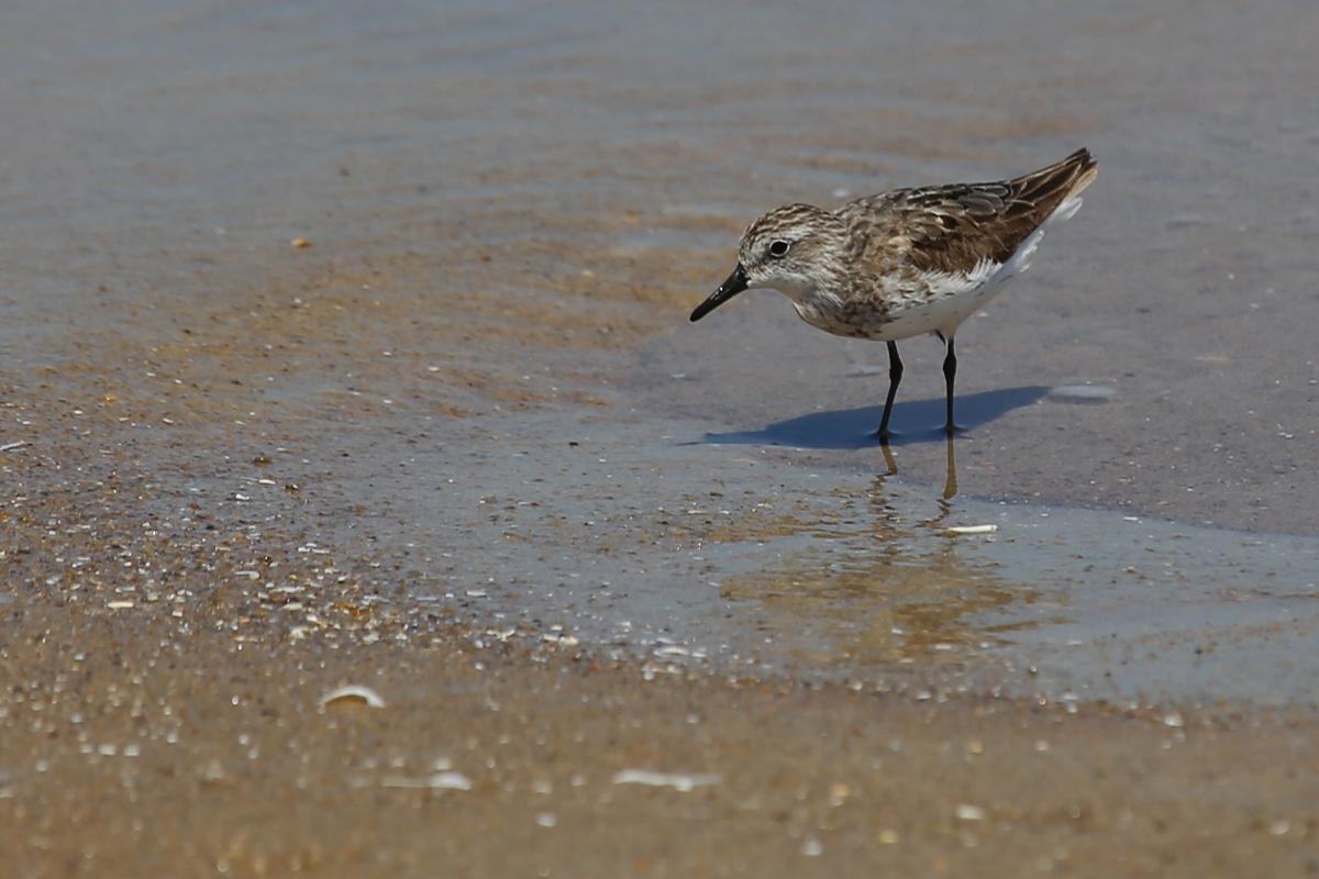 Semipalmated Sandpiper / 19 Aug / Back Bay NWR
