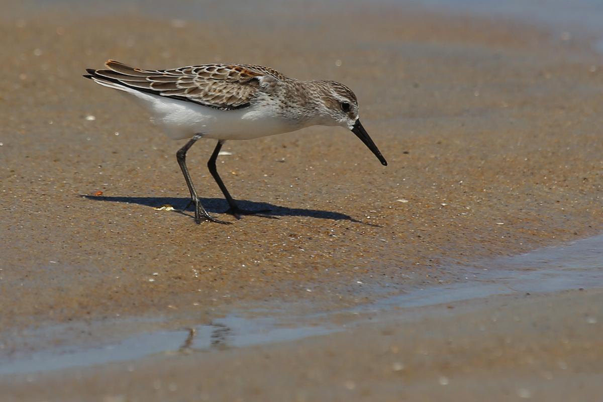 Western Sandpiper / 19 Aug / Back Bay NWR