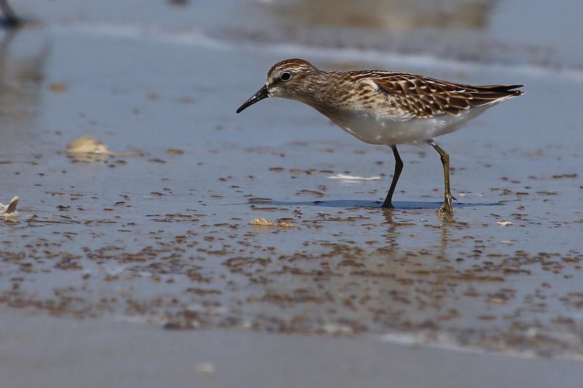 Least Sandpiper / 19 Aug / Back Bay NWR