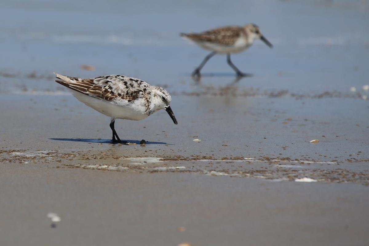 Sanderling & Western Sandpiper / 19 Aug / Back Bay NWR