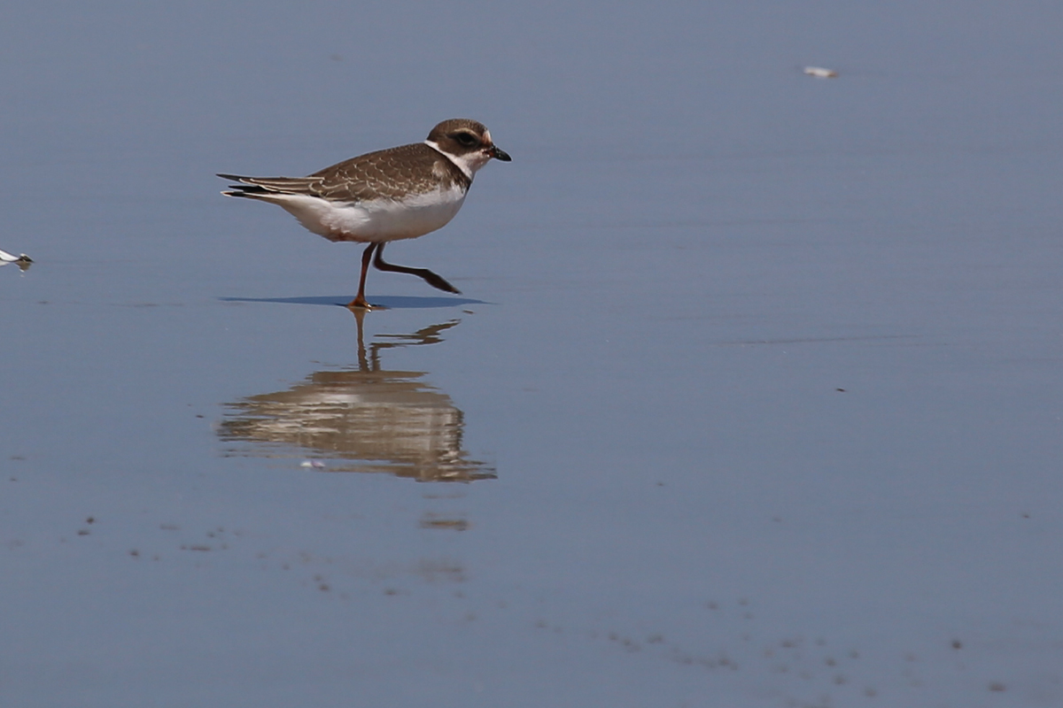 Semipalmated Plover / 19 Aug / Back Bay NWR