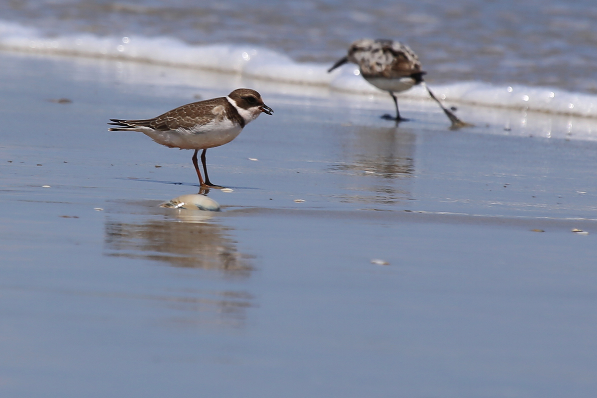 Semipalmated Plover & Sanderling / 19 Aug / Back Bay NWR