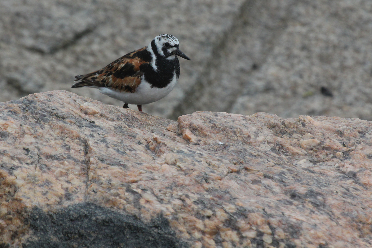 Ruddy Turnstone / 29 Aug / South Thimble Island