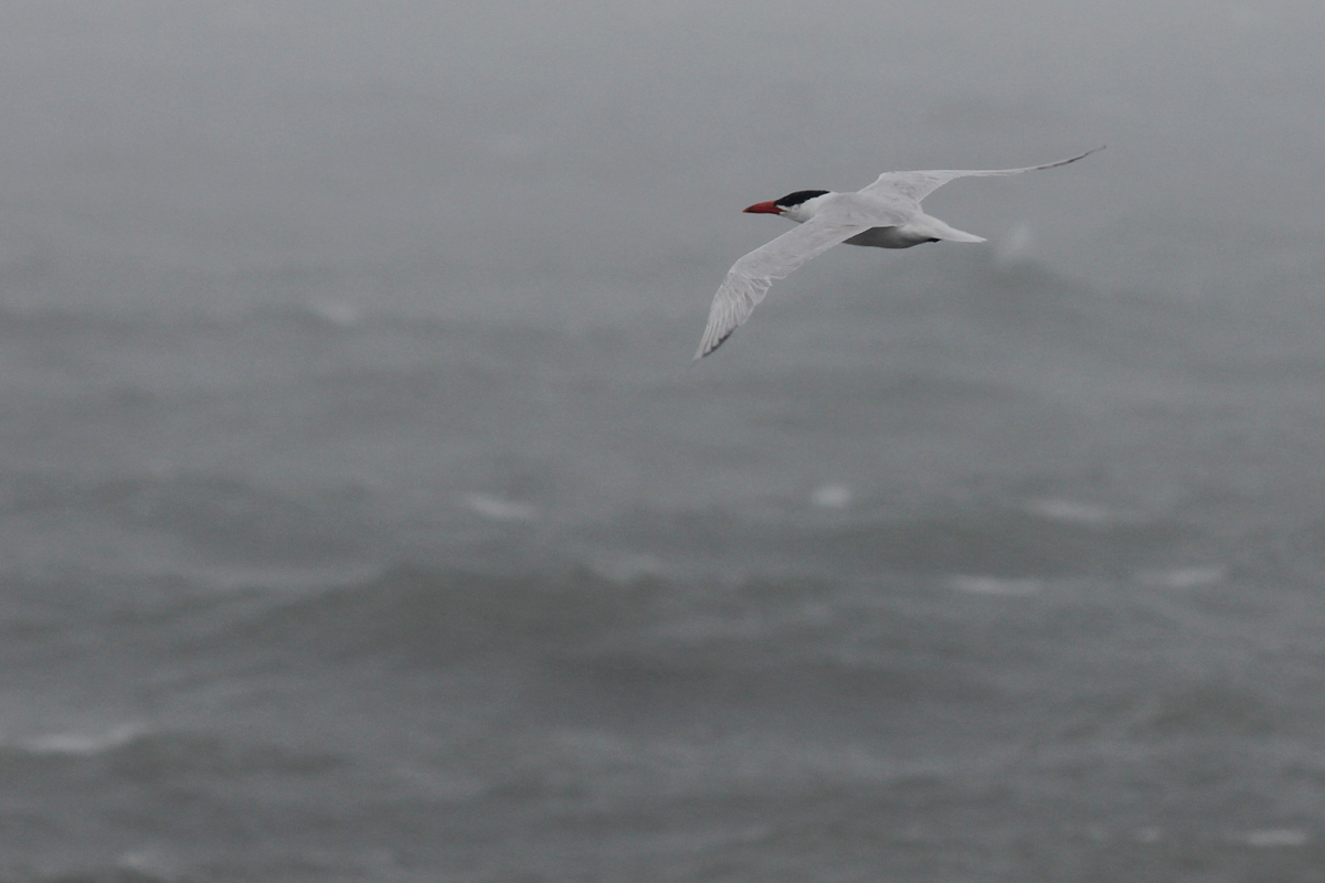 Caspian Tern / 29 Aug / South Thimble Island