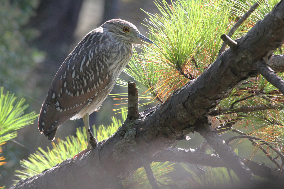 Black-crowned Night-Heron / 1 Oct / Pleasure House Point NA