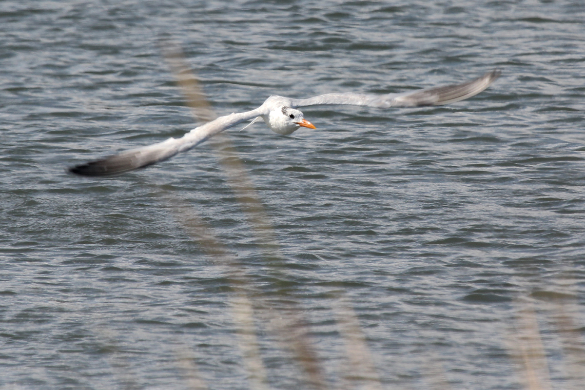 Royal Tern / 1 Oct / Pleasure House Point NA
