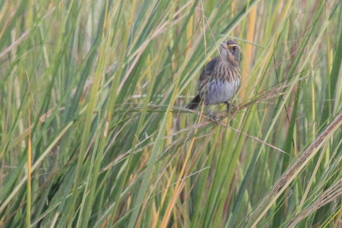 Saltmarsh Sparrow / 3 Oct / Pleasure House Point NA