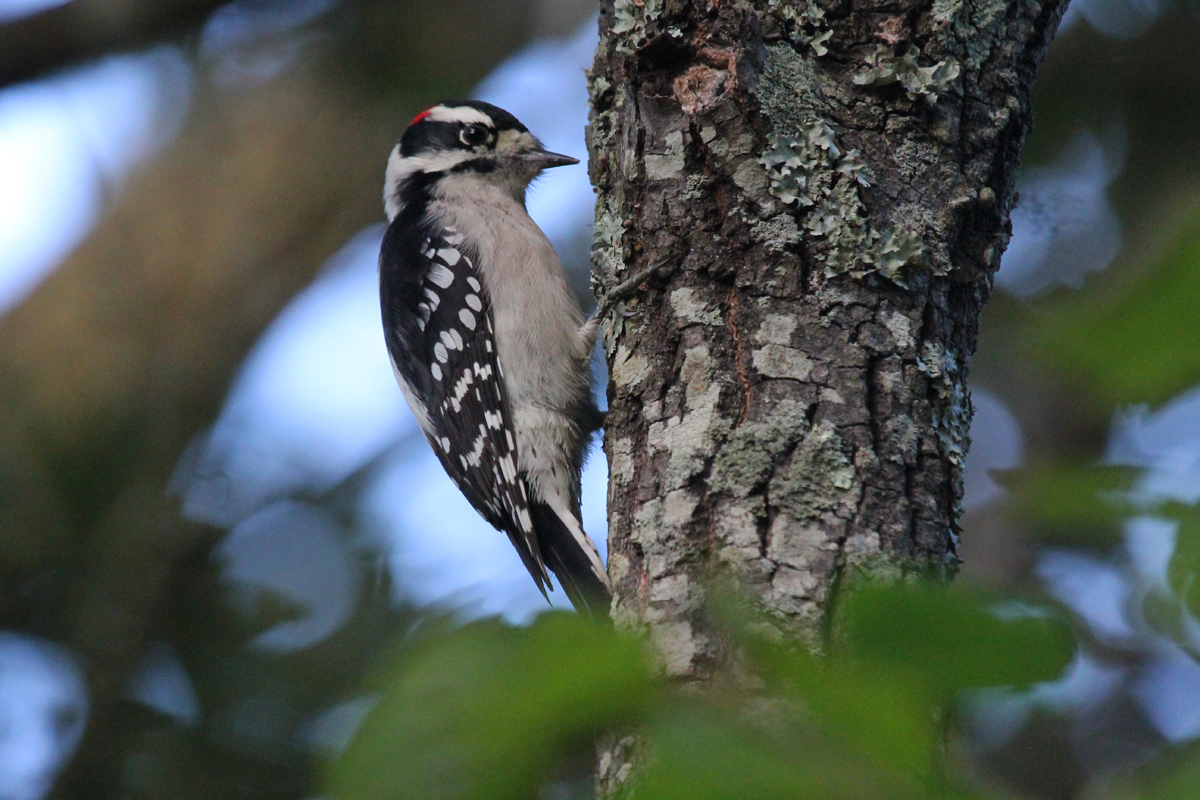 Downy Woodpecker / 3 Oct / Pleasure House Point NA