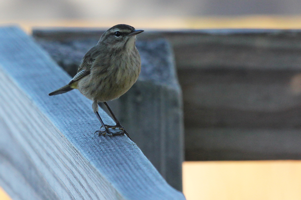 Palm Warbler (Western) / 7 Oct / Back Bay NWR