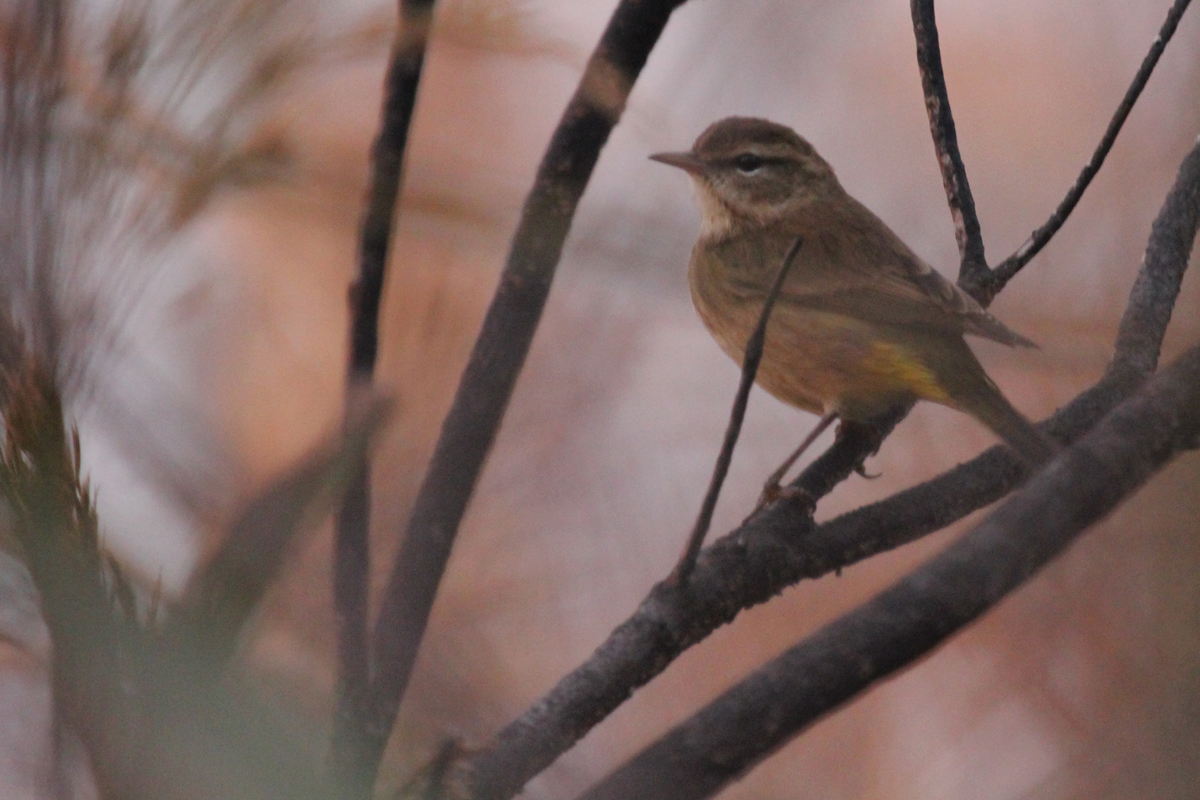 Palm Warbler (Western) / 8 Oct / Back Bay NWR