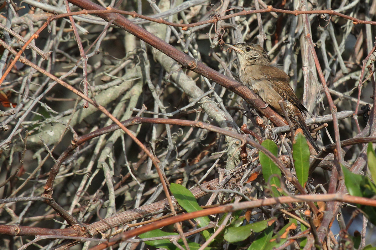 House Wren / 8 Oct / Back Bay NWR