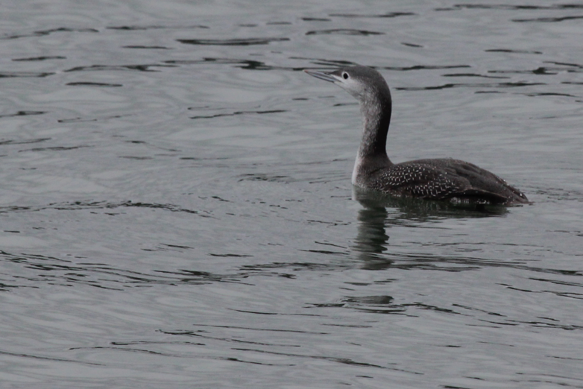 Red-throated Loon / 13 Nov / Rudee Inlet