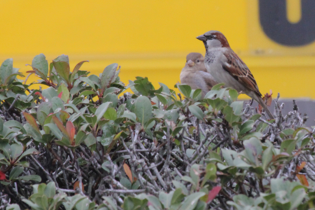 House Sparrows / 13 Nov / Atlantic Avenue