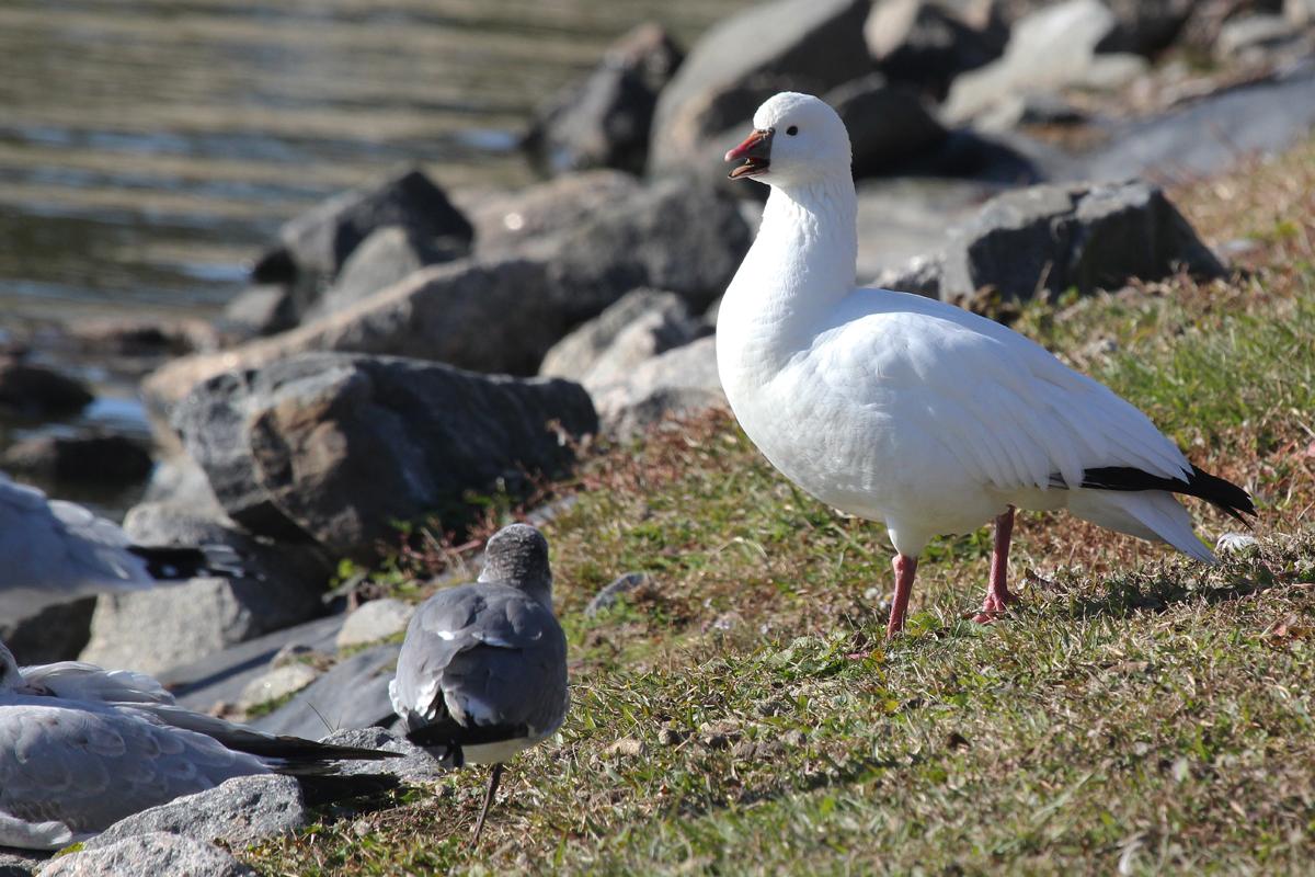 Ross's Goose / 26 Nov / Kempsville Lake