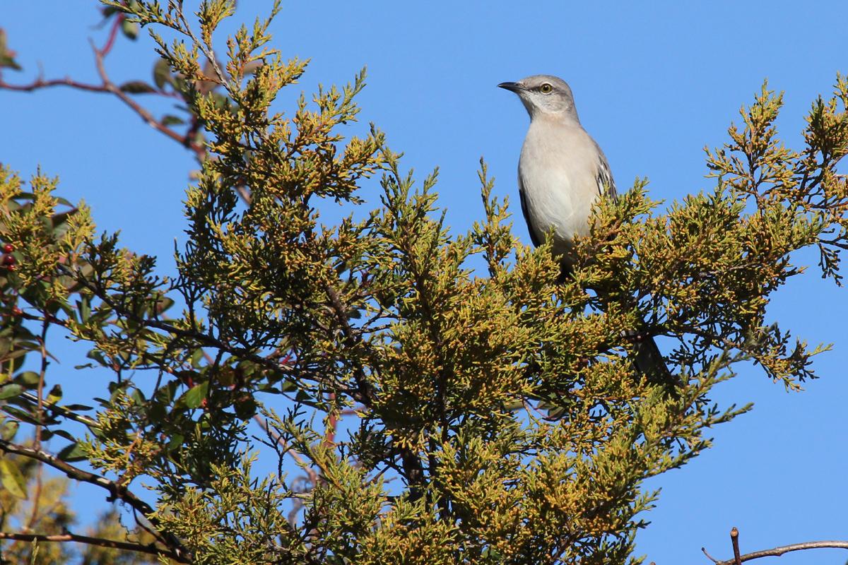 Northern Mockingbird / 26 Nov / Princess Anne WMA Whitehurst Tract