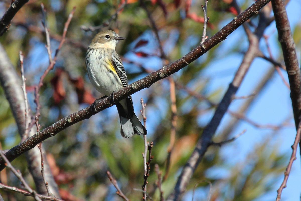 Yellow-rumped Warbler / 26 Nov / Princess Anne WMA Whitehurst Tract