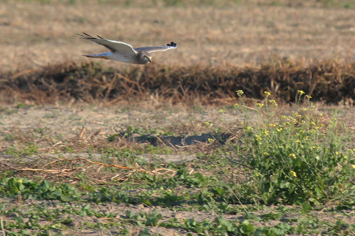 Northern Harrier / 26 Nov / Buzzard Neck Road