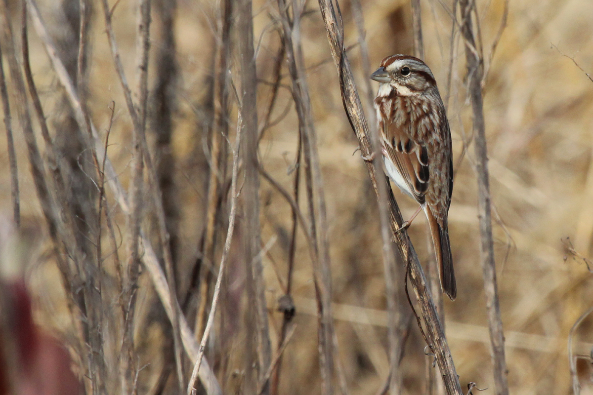 Song Sparrow / 2 Dec / Big Sky Farms (Private)
