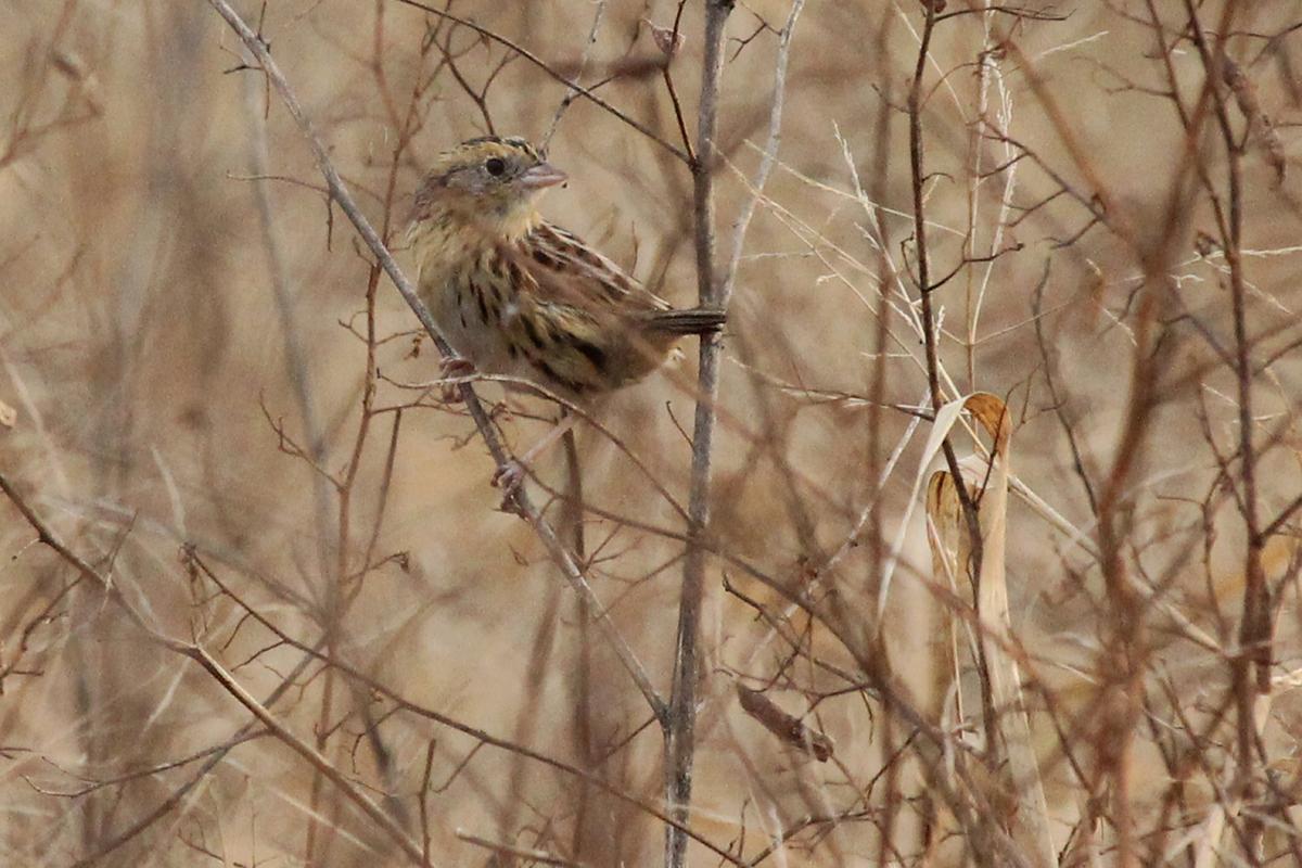 LeConte's Sparrow / 3 Dec / Princess Anne WMA Beasley Tract