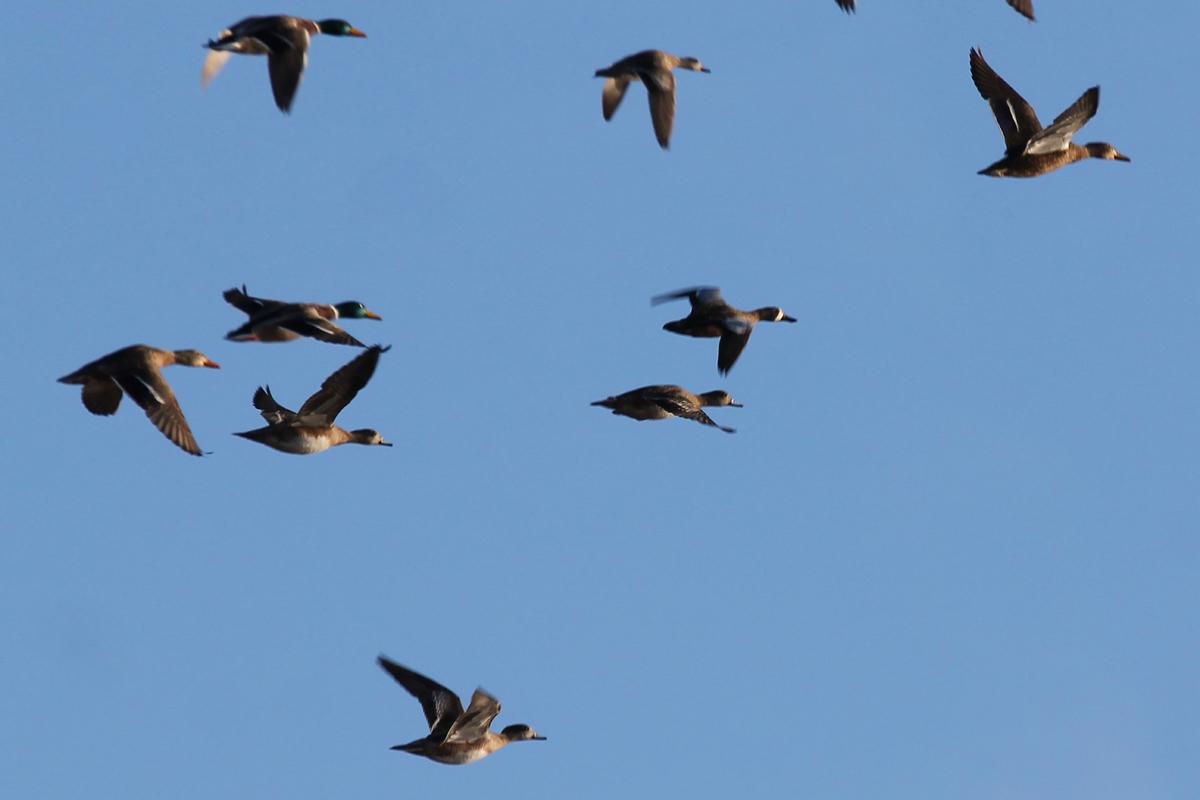 Blue-winged Teal, Mallards & American Wigeons / 31 Dec / Princess Anne WMA Whitehurst Tract
