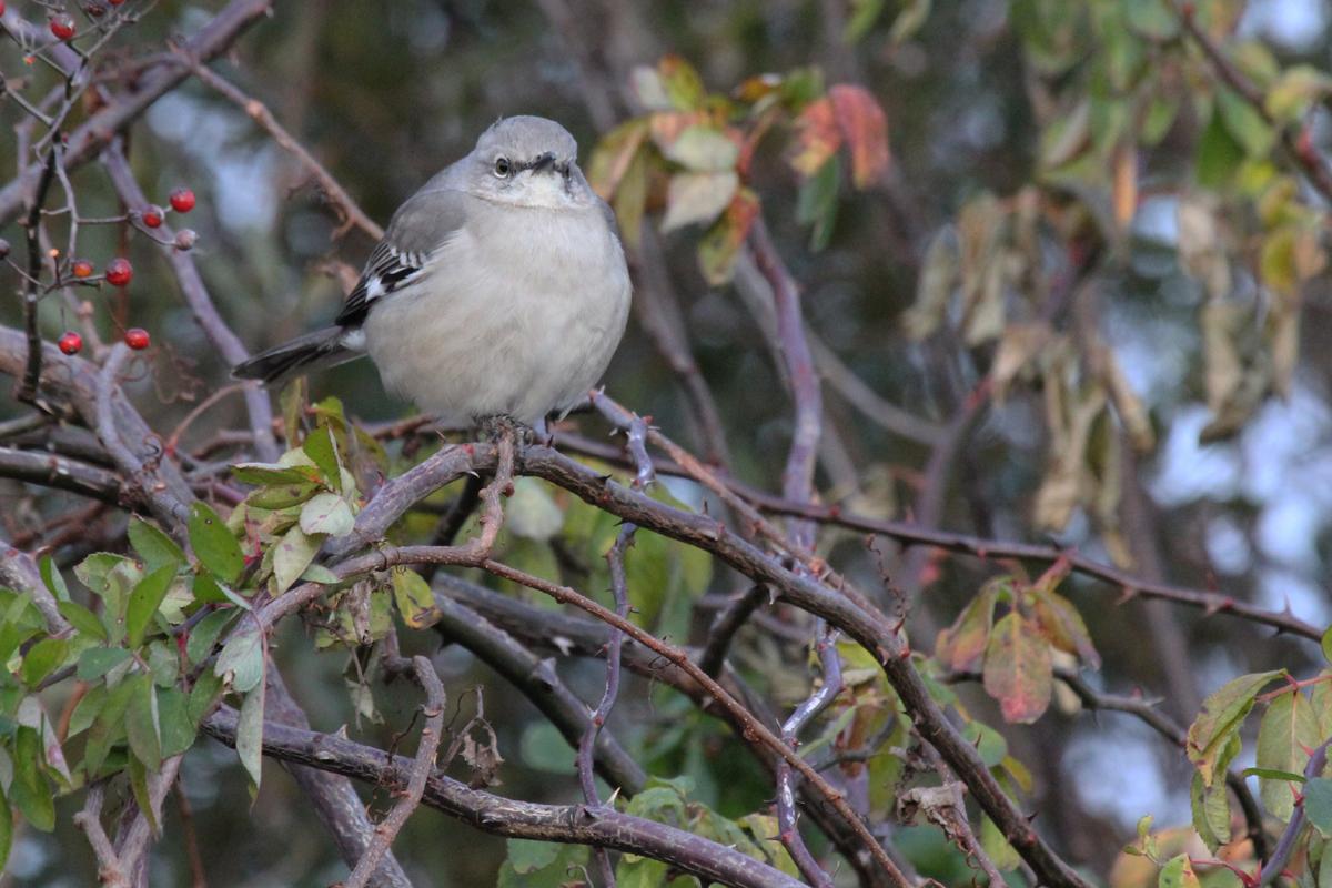 Northern Mockingbird / 29 Dec / Munden Rd.
